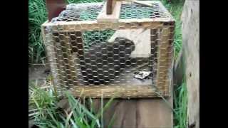 getlinkyoutube.com-Pegando Preá na Armadilha - (trap guinea pig)