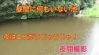 getlinkyoutube.com-夜間撮影 昼間何もいない池 夜はエビがうじゃうじゃ!スジエビの夜の生態