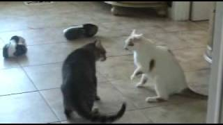 getlinkyoutube.com-Extreme Cat Fight, Caught on Tape!