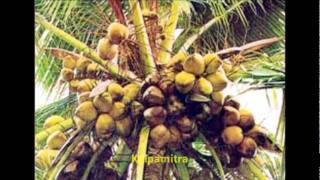 getlinkyoutube.com-Famous Coconut varieties in India