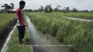 getlinkyoutube.com-Indonesia Rice-Fish Farming