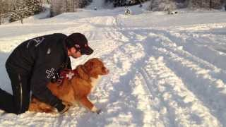 getlinkyoutube.com-Alyeska avalanche dog training (puppies included)