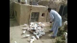 getlinkyoutube.com-Kabootar Bazi 293/E.B Ram Jaane