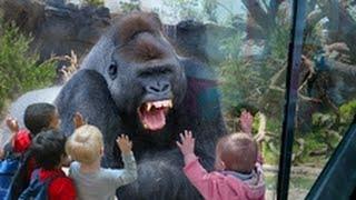 getlinkyoutube.com-غوريلا يكسر زجاج حديقة الحيوان بسبب اطفال اسهزئوه