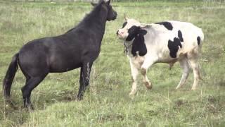 getlinkyoutube.com-бык и лошадь1