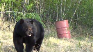 getlinkyoutube.com-2016 Canadian Black Bear Hunt