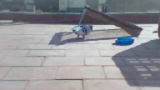 getlinkyoutube.com-chasse pigeon  صيد الحمام