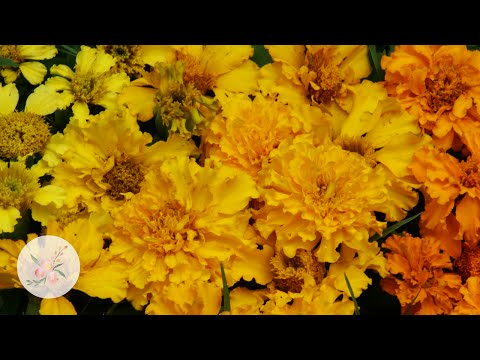 How to Grow Marigolds from Seed - Ornamental Cut Flower Gardening Basics
