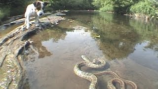getlinkyoutube.com-Jack Russell Terrier vs. Snake