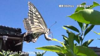 getlinkyoutube.com-RX100 Ⅳ 960fpsで昆虫の飛翔を撮影