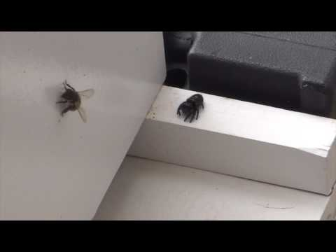 Beekeeping : Honey Bee Vs. Spider FAIL