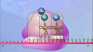 getlinkyoutube.com-بناء البروتين