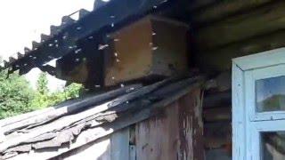 getlinkyoutube.com-Прилет бродячего роя в ловушку.Пчелы разведчики нашли ловушку.2 ч.