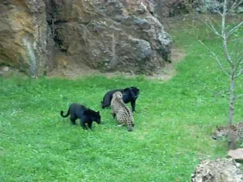 Naturaleza Salvaje. Pantera Vs Jaguar