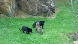 getlinkyoutube.com-Naturaleza Salvaje. Pantera Vs Jaguar