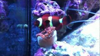 getlinkyoutube.com-Documenting the bonding of a Clownfish and Anemone: The Beginning