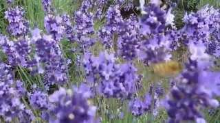 getlinkyoutube.com-สวัสดีสีม่วง ดอกลาเวนเดอร์แสนสวยในฟาร์มโทมิตะ ฮอกไกโด ส่งกลิ่นหอม ผึ้งดมกิน จนอ้วน