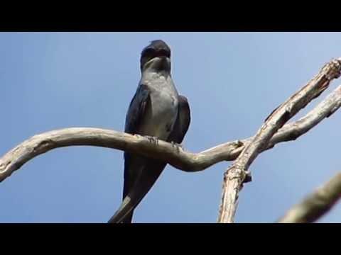 Crested Treeswift - Birdwatching Thailand