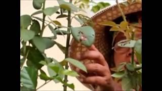 getlinkyoutube.com-การขยายพันธุ์พืช โดย การตอนกิ่ง