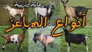 getlinkyoutube.com-أنواع الماعز
