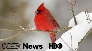 Bird Clockers: VICE News Tonight on HBO (Full Segment)