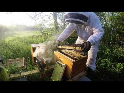 Beginning Beekeeping in Texas  How to do a hive inspection and finding queen cups.