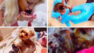 getlinkyoutube.com-MY DOG GIVING BIRTH! (GRAPHIC) | Gigi