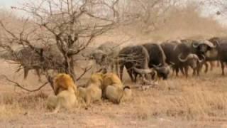 getlinkyoutube.com-The Confrontation - 3 male Lions versus 300 Cape Buffalo