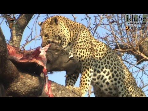 Leopard, Warthog and Hyena: After The Incredible Battle