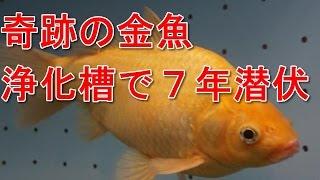 getlinkyoutube.com-奇跡の金魚 肉食魚から逃れ浄化槽に7年潜伏