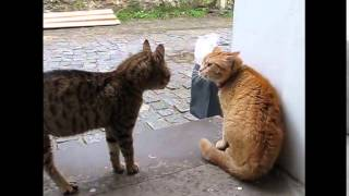 getlinkyoutube.com-Cat meowing very loudly  ( Very Angry Cats )