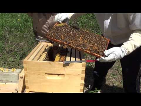 Beginner Bee Keeping - One week inspection to find the Queen