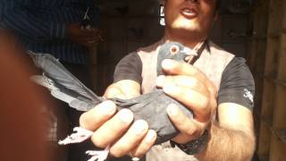 getlinkyoutube.com-Nitey bhai madrasi pigeons part 2 by kamal arora