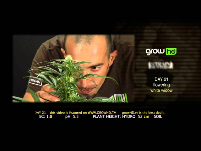 White Widow - Green House Grow Sessions