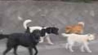 getlinkyoutube.com-原発避難区域は犬や牛の群れが闊歩する無法地帯に