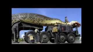 getlinkyoutube.com-اكبر افعى في العالم سبحان الله The biggest snake in the world Hallelujah العاب برامج