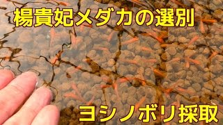 getlinkyoutube.com-楊貴妃メダカの選別とヨシノボリ採取 人工餌を食べます
