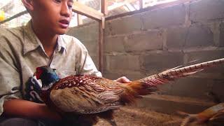 getlinkyoutube.com-KISAH SUKSES : Prayitno Farm Berhasil Ternak RingNeck Pheasant