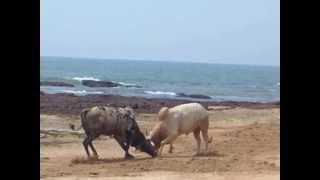 getlinkyoutube.com-Bull fight in Goa India