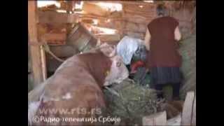 getlinkyoutube.com-Spasavanje bika Šarka
