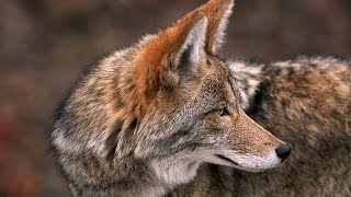 Coyote, The Ultimate Survivor? Nature Documentary