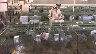 getlinkyoutube.com-#اليوم مزارع للأرانب لحل أزمة الغذاء في #الإمارات