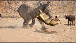 Gajah Selamatkan Kerbau Dari Singa Dan Pertarungan Besar Seekor Gajah Vs Segerombolan Singa