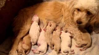 getlinkyoutube.com-Primer Parto De Muñeca-(Poodle Con Terrier)