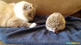 getlinkyoutube.com-Gatos conociendo Animales 2015 [HD]. Gatos jugando con caballos, conejos, erizos, buhos, perros....