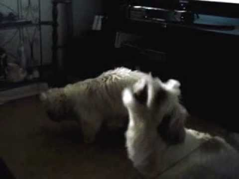 shih tzu's Pinky and Benji catching treats