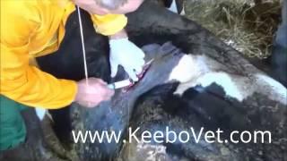 getlinkyoutube.com-Rumenotomy In Cattle, Complete Surgery Performed By Veteranarian Doctor