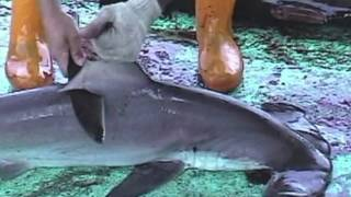 Over 73 Million Sharks Killed Every Year for Fins width=