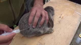 getlinkyoutube.com-Вакцинация кроликов