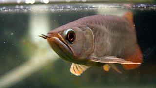 Banjar Red Arowana eats goldfish..  Live feeding
